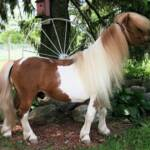 Bond Commander is sire to the famous Madams Beau II and one of the historical stallions in the American miniature horse breed. He continues to put his quality stamp on his foals, even in his twenties.